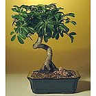 Coiled Trunk Medium Hawaiian Umbrella Tree