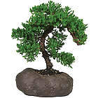 Green Mound Juniper Bonsai in a Rock