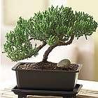 Green Mound Juniper Bonsai Tree
