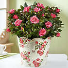 Large Classic Budding Rose Bush