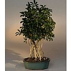 Banyan Style Hawaiian Umbrella Bonsai Tree in Large