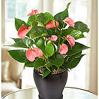 Hearts Aflame Tropical Anthurium Plant