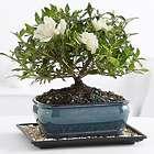 Gardenia Bonsai in Glazed Pot