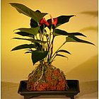 Flowering Red Anthurium in Hawaiian Lava Rock