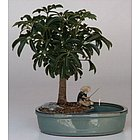 Hawaiian Umbrella Tree with Water Pot