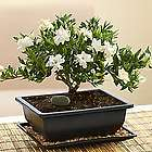 Small Gardenia Bonsai