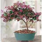 Fringe Flower Bonsai Tree