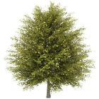 2' Ginkgo Tree Sapling