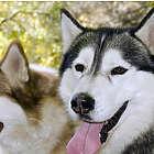 Hilltown Dry Land Dog Sled Tour in Massachusetts