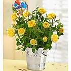 Congratulations Yellow Rose Plant