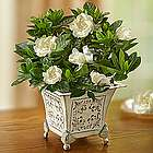 Grand Gardenia in Antique White Planter