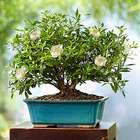 8-Year Old Gardenia Bonsai