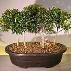 Flowering Brush Cherry Bonsai Tree Forest