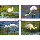 Whooping Cranes Photo Note Cards