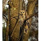 Brinkland Owl Photographic Print