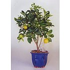 Citrus Tree Bonsai