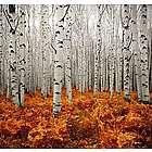 Maine White Birch Trees Aluminum Photo Panel
