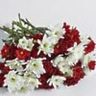 100 Blooms Of Christmas Poms Bouquet