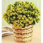 Blooming Yellow Kalanchoe Plant