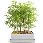 Dawn Redwood Bonsai Forest Seed Kit
