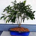 Flowering Persian Lime Bonsai Tree