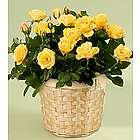 Potted Yellow Rose