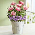 Springtime Tulip and Crocus Bulb Garden