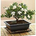 Comforting Gardenia Bonsai Tree