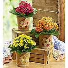 Mother's Day Flowers Spring Cottage Kalanchoe Plant Trio
