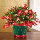 Small Christmas Cactus in Festive Drum Planter