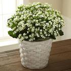 White Kalanchoe Plant