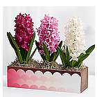 Mother's Day Hyacinth Trio