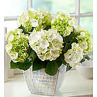 Bountiful Blessings Hydrangea for Sympathy