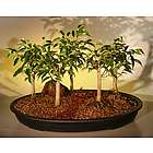 Oriental Ficus Bonsai Trees