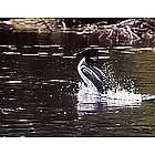 Loon Nature Photo Note Cards