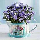 Purple Rose Campanula Plant in Vintage French Blue Watering Can