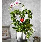 Phalaenopsis Orchid Heart Plant