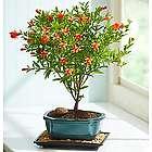 Blooming Pomegranate Bonsai