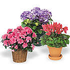 Deluxe Indoor Flowering Plant