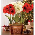 Mini African Amaryllis with Stakes