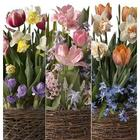 3 Months of Late Spring Bulb Gift Gardens - Available in April