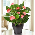 Pink Hearts Anthurium Plant