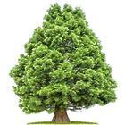 Giant Sequoia Tree Sapling