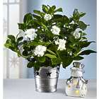 Starry Night Gardenia Gardenia Plant