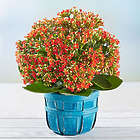 Margaritaville Blooms Orange Kalanchoe Plant