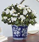 Large White Azalea for Sympathy in Lovely Planter