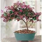 Fringe Flower Bonsai Tree