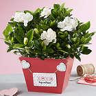 Valentine's Day Gardenia Plant