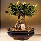 Green Emerald Ficus - Root over Rock