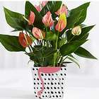 Anthuriums Plant in Pink Flamingo Pops Planter